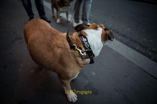 Bulldog par Le MuZographe, photographe pour chiens