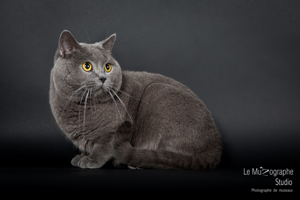 Isco de Blue Gold Angel, Chartreux