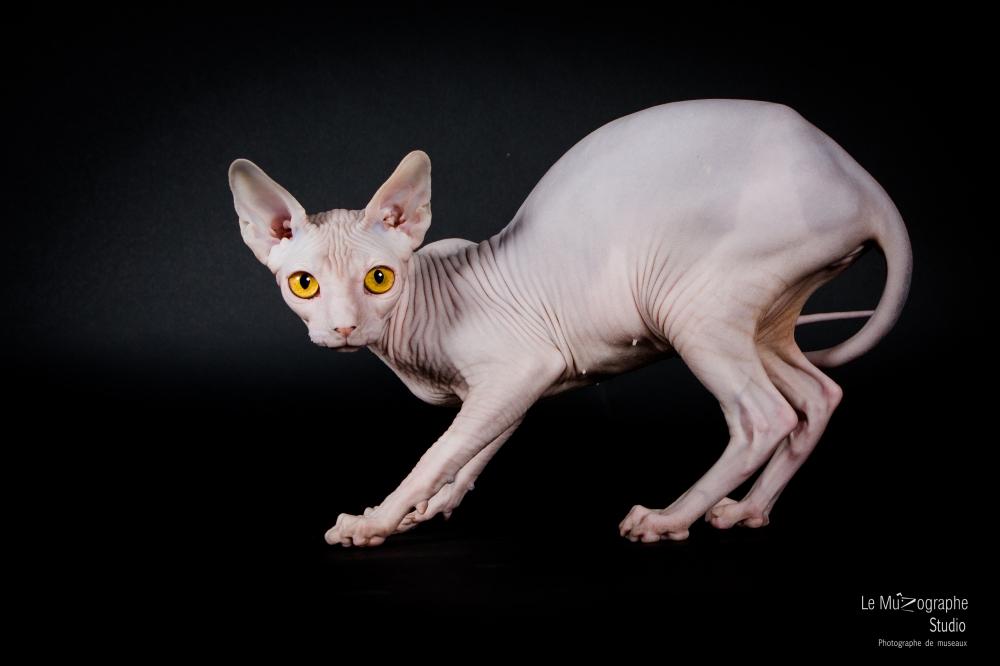 Evita, Sphynx © Le MuZographe pour Purr Obscure Cattery