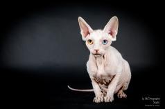 E.T. Sphynx © Le MuZographe pour Purr Obscure Cattery