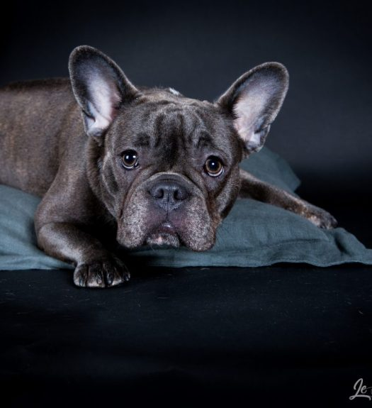 Chiot french bulldog