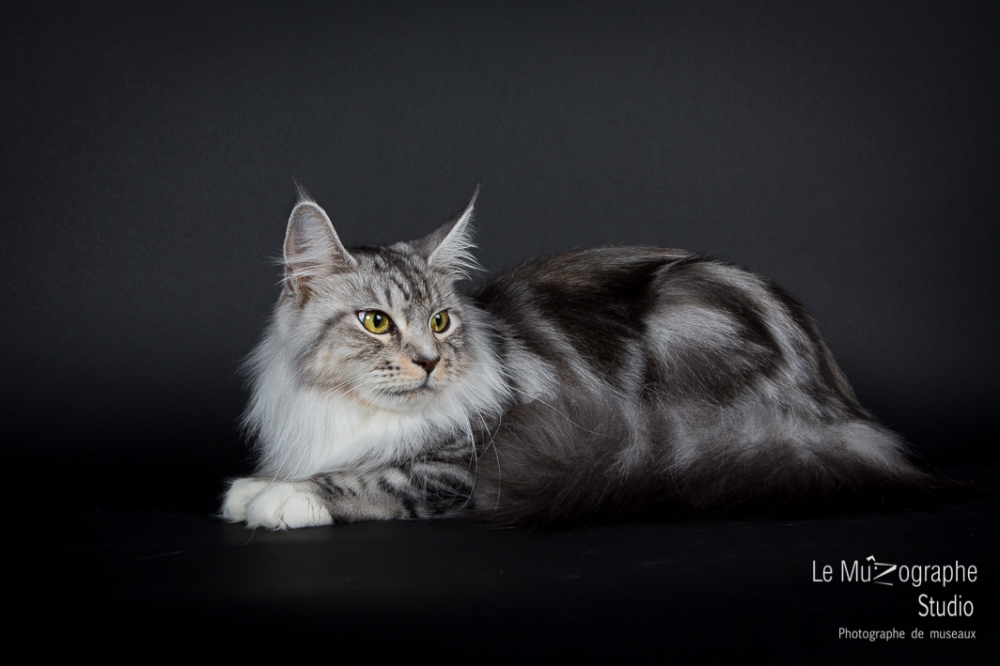 Portrait d'un MaineCoon à Paris, photographe pour chat