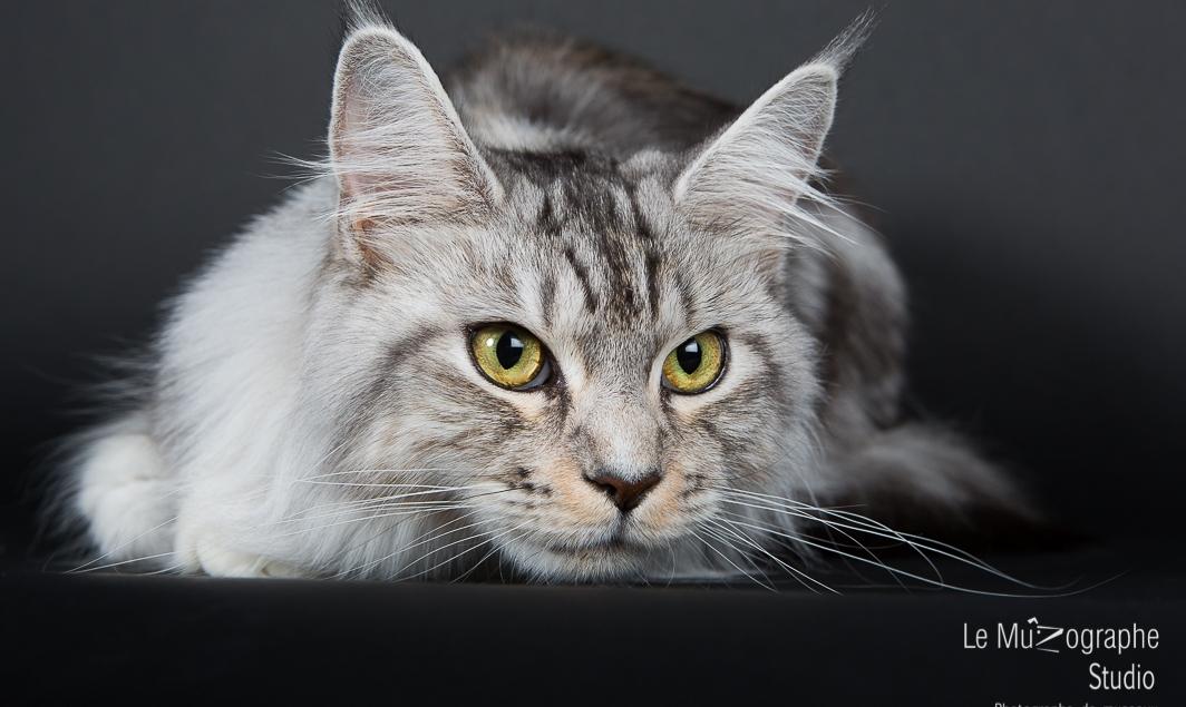 Portrait de chat Maine Coon par le MuZographe, photographe pour chat