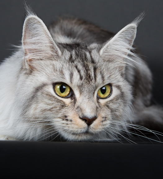 Portrait de chat Maine Coon par le MuZographe, photographe pour chat