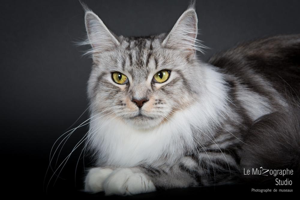 Portrait chat Mainecoon en studio par photographe animaux de compagie