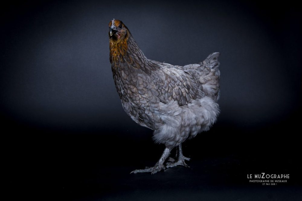 Photo d'une poule artistique en Vendée