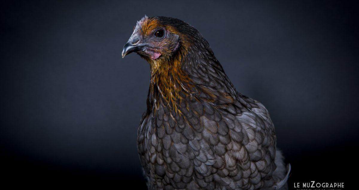 """Portrait d""""une poule bleue en studio à Paris"""
